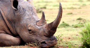 Will a Free Market in Horns Save the Rhino?