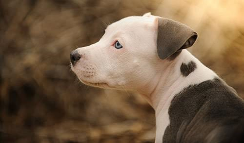 Pit Bulls Are Neither ... Xxl American Bully Puppies