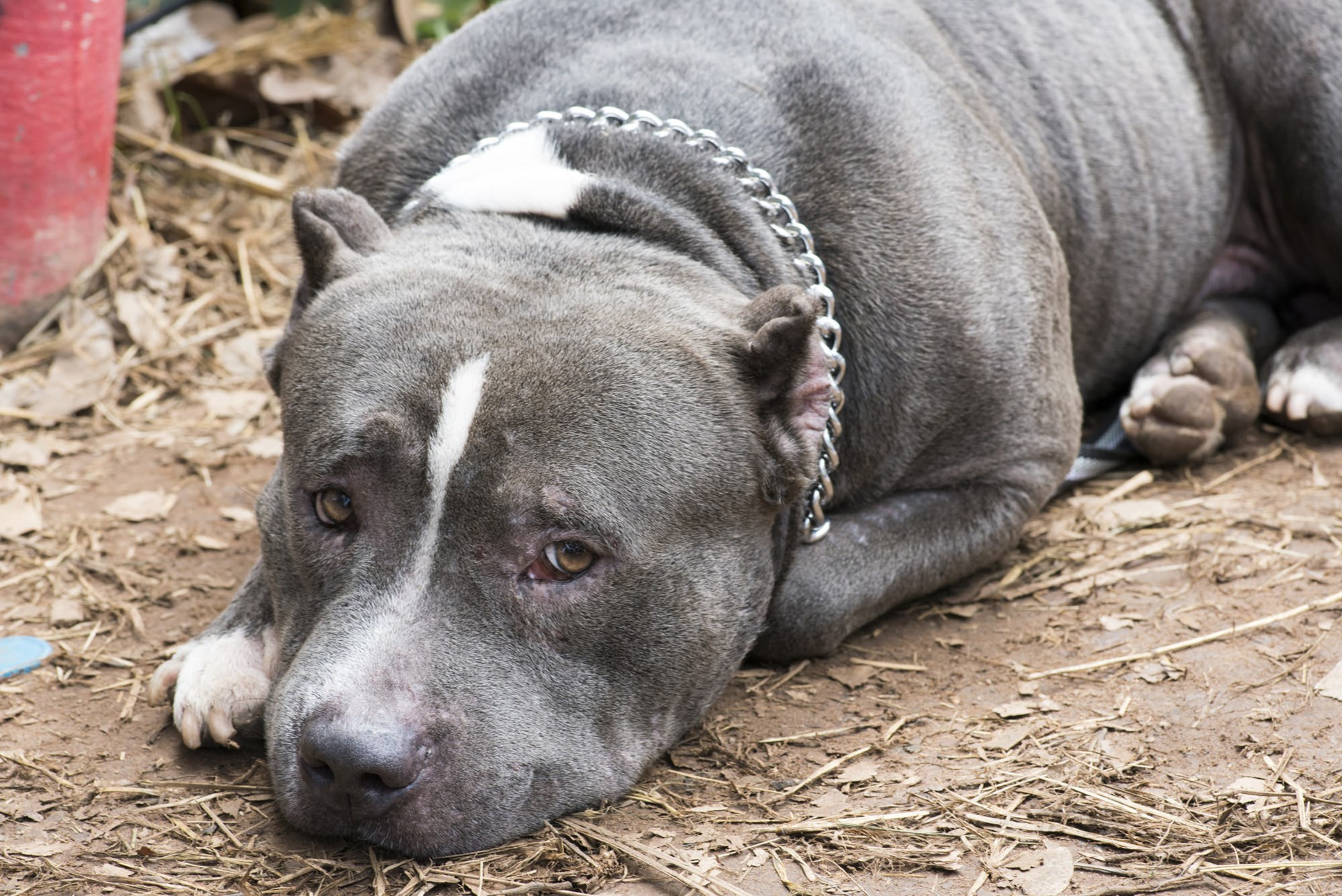 Pit Bulls Are Neither Monsters Nor Teddy Bears - Foundation
