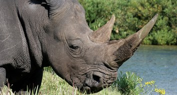 To Save the Rhinos, Legalize the Horn Trade